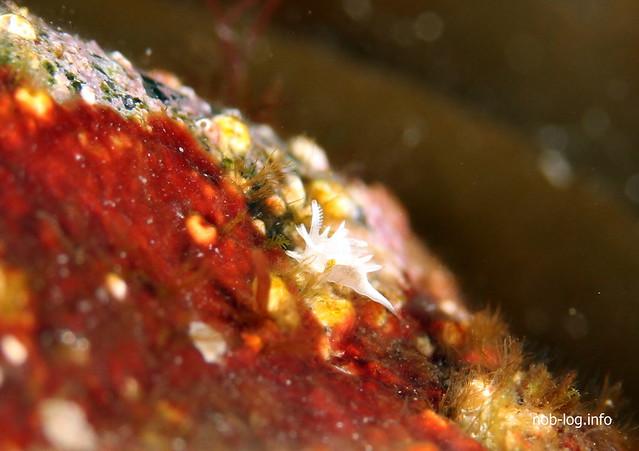 シロイバラウミウシ