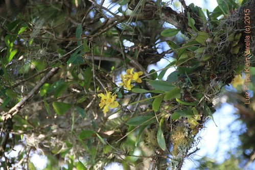 Alatiglossum chrysoptheranthum e Alatiglossum micropogon no habitat