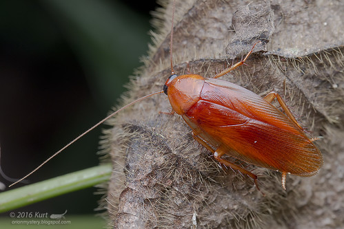 Blattodea_MG_0616 copy
