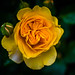 Yellow Rose by pillarsoflight