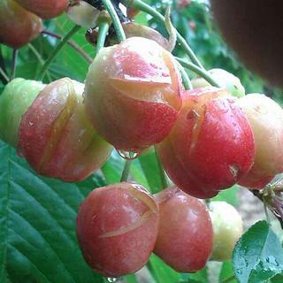 ciliegie maltempo (2)