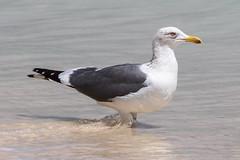 Heuglin's Gull at al Fizavah S24A8266