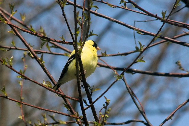 Goldfinch in Pin Cherry