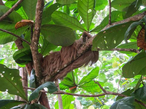 Parc National de Cahuita: un petit paressseux qui dort dans un arbre le long de la plage