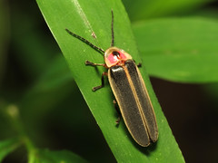 Common Eastern Firefly