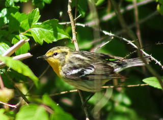Blackburnian Warbler (female)