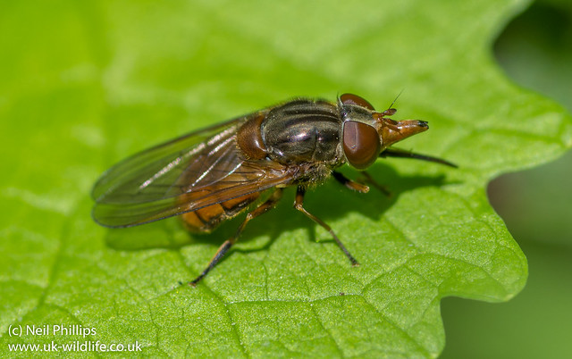 Rhingia campestris hoverfly-3