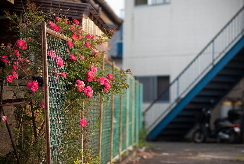 街角のバラroses on wire mesh