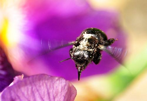 Bienen Holzbiene Anflug Blüte lila lilafarben