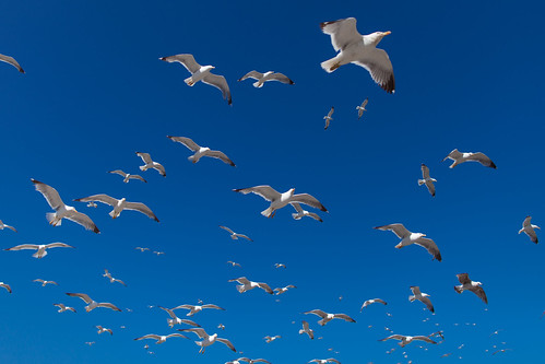 Morocco - Essaouira - Seagulls in the blu sky - Mouettes dans le ciel bleu picture image photo