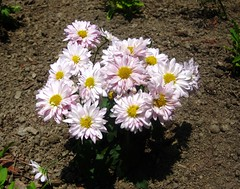 Florist's daisy (Chrysanthemum morifolium)