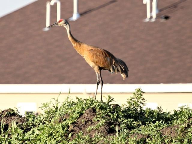 Sandhill Crane 2-20130701