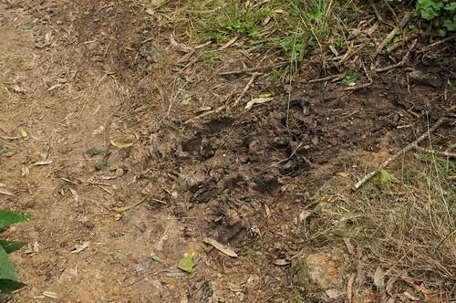 pig tracks? 130622-9022