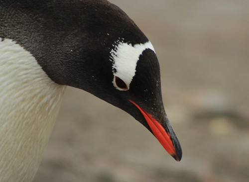 Gentoo Penguin by siaskel