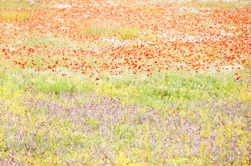 poppyfields2