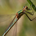 Emerald damselfly: (not a crop) by nspugh