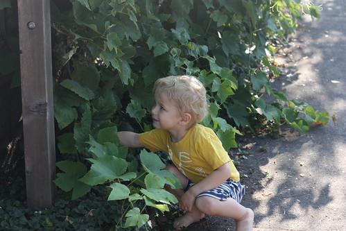 Gathering Grapes
