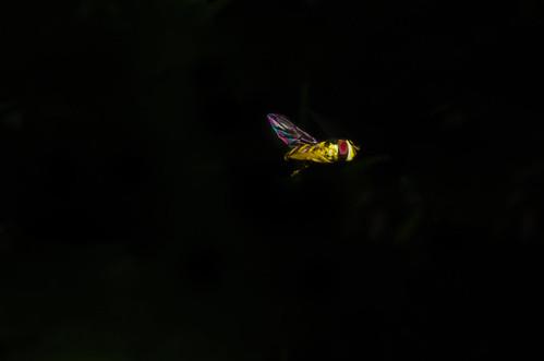 M. cinctella (?) in flight