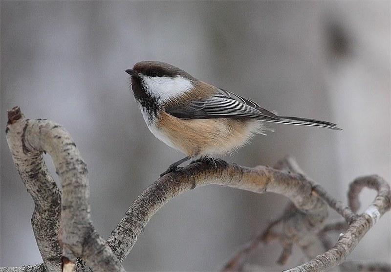Siberian Tit