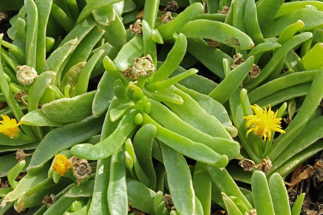Glottiphylum longum - Meise-001