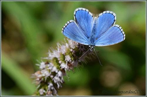 Borboleta azul das turfeiras (Phengaris alcon).