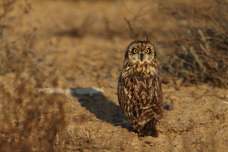 Short earerd owl, GRK