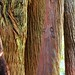 Small photo of All in Redwoods
