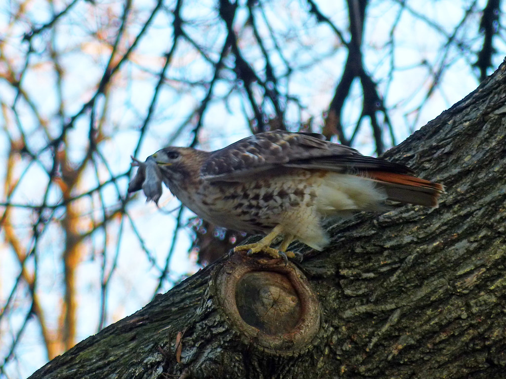 Hawk with mouse