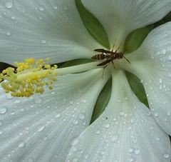 Hibiscus coccineus 'Alba', White Texas Star