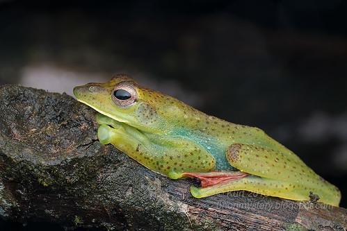 Malayan Flying Frog (Rhacophorus prominanus) IMG_9988 copy