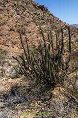 Sour Pitaya (Machaerocereus (Stenocereus) gummosus)