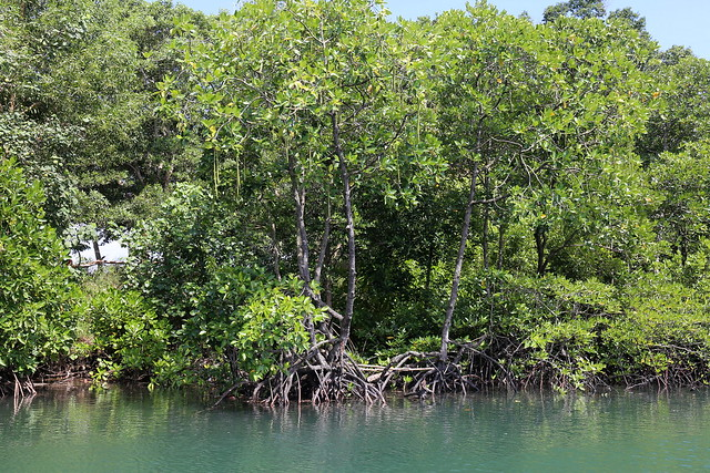 You can explore mangrove forests by boat