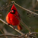 Small photo of Cardinal