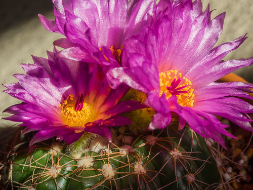Velveteen Cactus Blooms by Jeff.Hamm.Photography