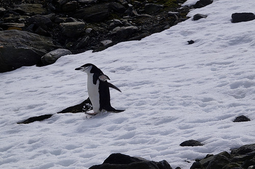 116 Elephant Island - Point Lookout Kinbandpinguins