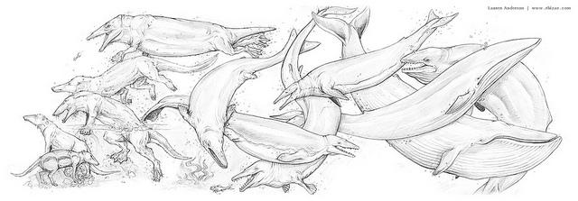 鯨目的演化。圖片作者:Lauren Anderson,圖片來源:http://www.flickr.com/photos/rhizae/7186484728/,本圖符合CC授權使用。