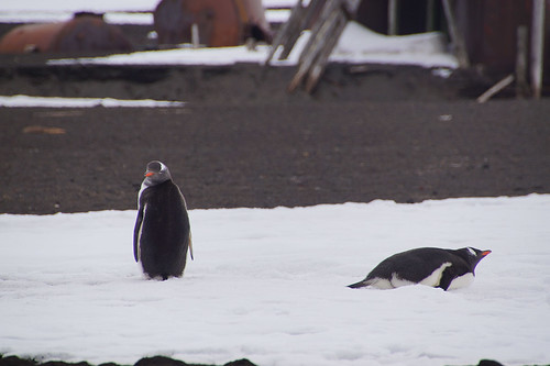 230 Ezelspinguins