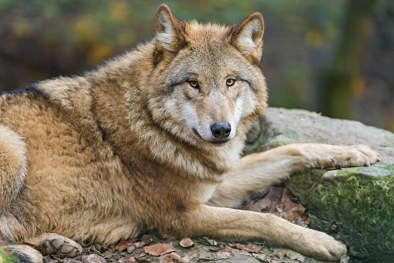 Pretty wolf posing