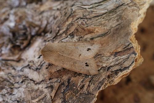 Twin-spotted Quaker (Orthosia munda)