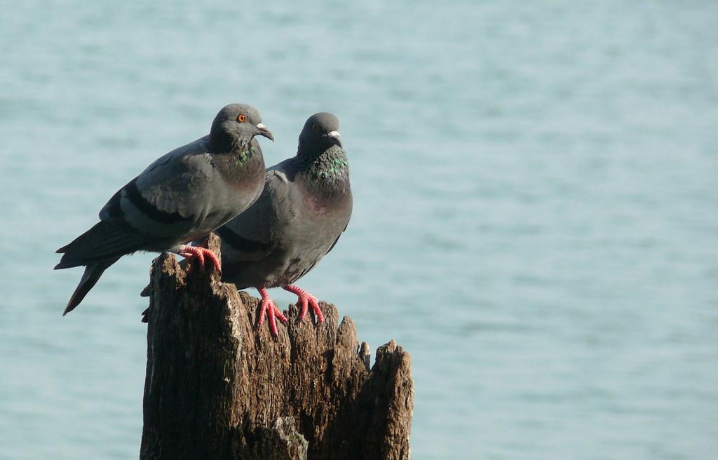 pigeon_in_sun