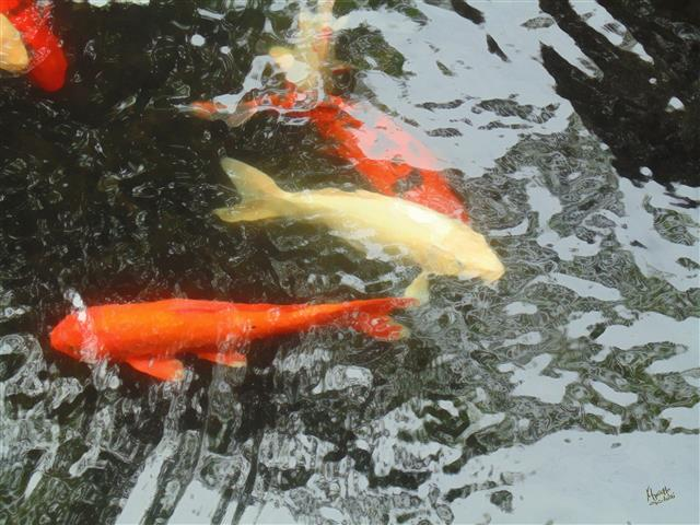 Hawaii maui reflection koi fish 4 pond print island for The koy pond