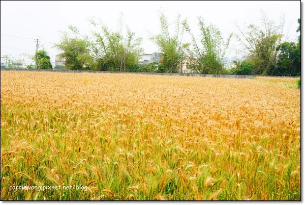 Wheat Farm (14)
