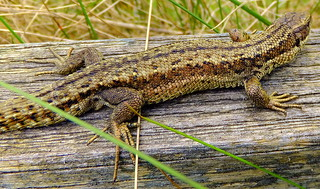 Fuji FinePix F600EXR.Macro Mode.On My Garden Fence In Wind And Rain,Common Lizard (Reptile)May 13th 2014.
