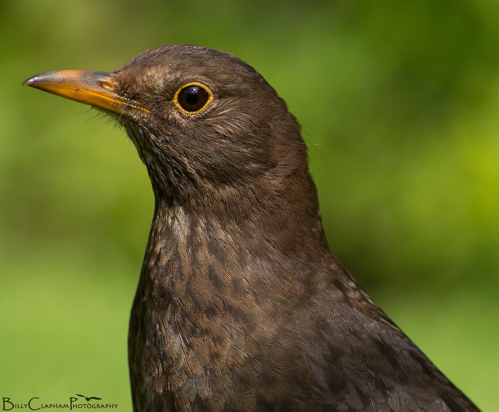 female blackbird portrait