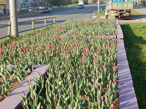 тюльпаны на клумбу