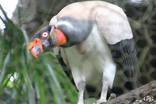 Zoo Karibikinsel Belize 19.11.2014 68