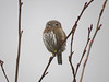Northern Pygmy-Owl - back of head