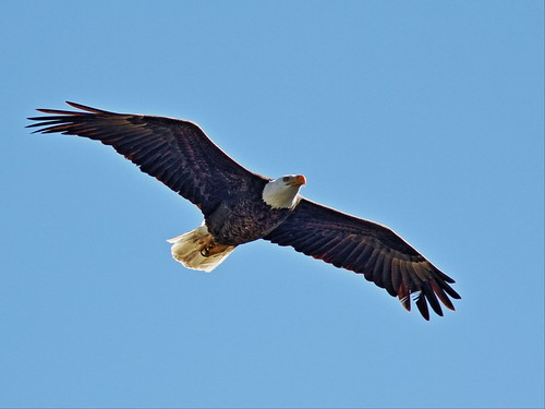 Bald Eagle male soaring 7-20150128