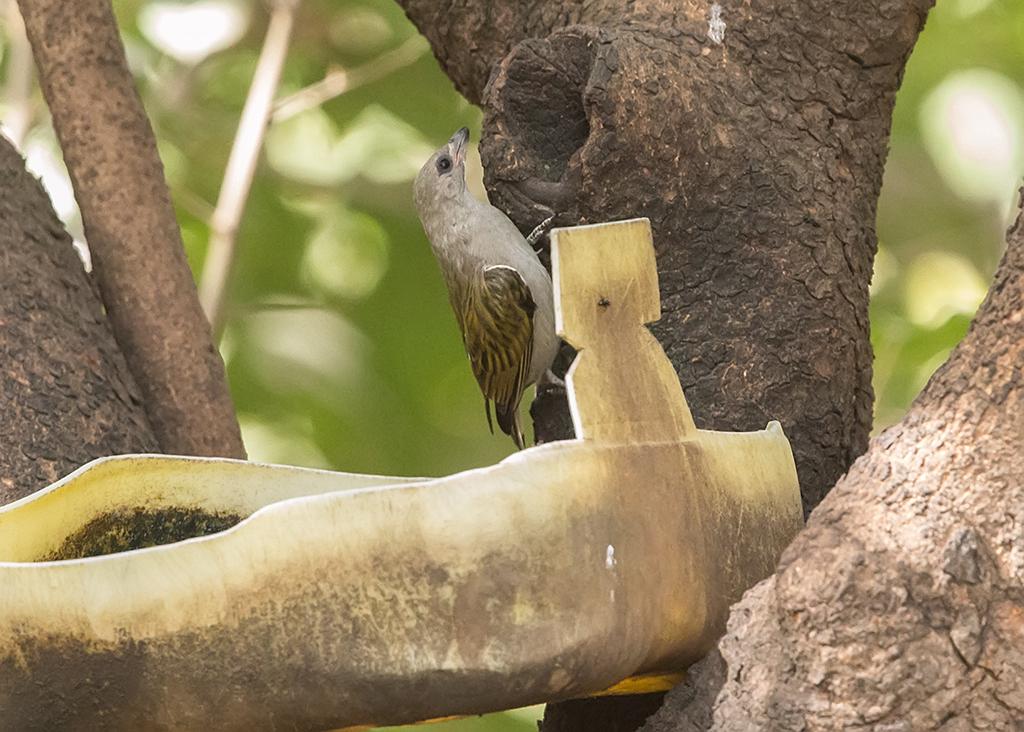 Lesser Honeyguide Gambia
