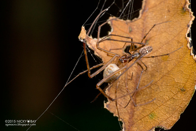 Big-jawed spider (Tylorida ventralis) - DSC_8926